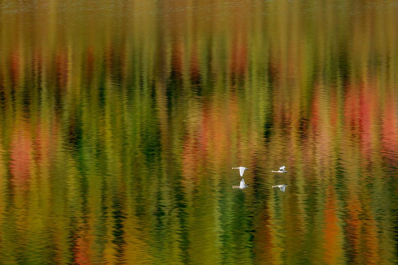Trumpeter swan, Wonder Lake, Denali Natl Park, Alaska, United States