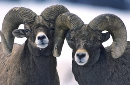 Big horn sheep, Yellowstone National Park, rams, Yellowstone photography