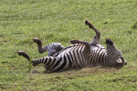 zebra, zebra images, zebra photos, tanzania wildlife, tanzania wildlife images, tanzania wildlife photos, zebras in tanzania, african safari wildlife, tanzania safari wildlife, tanzania safari wildlife photos, serengeti national park, serengeti wildlife