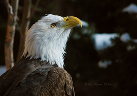 bald eagle, bald eagle photos, bald eagle images, united states wildlife, american wildlife photos, american birds, birds in the united states, bald eagles in america, America's national bird, national bird of united states