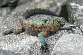 iguana, marine iguana, iguana photos, marine iguana photos, galapagos islands wildlife, galapagos wildlife photos,