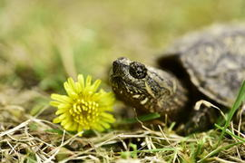 turtle, snapping turtle, turtle photos, snapping turtle photos, united states wildlife, united states wildlife photos, nebraska wildlife, nebraska wildlife photos, american turtles, american turtle photos