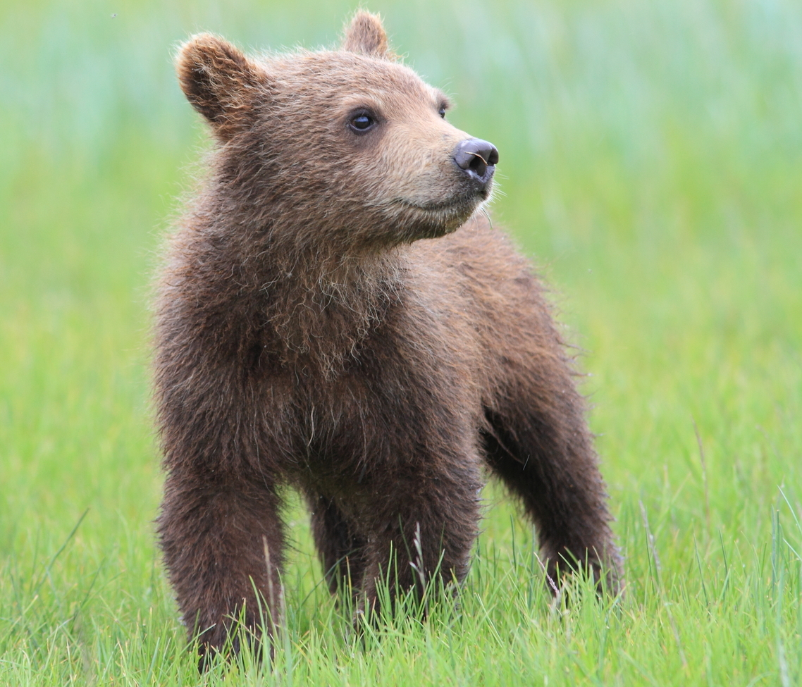 grizzly bear, brown bear, brown bear cub, grizzly cub, grizzly photos, brown bear photos, alaska wildlife, alaska bears, alaska wildlife photos, alaska bear photos, united states wildlife, united states wildlife photos, katmai, katmai national park