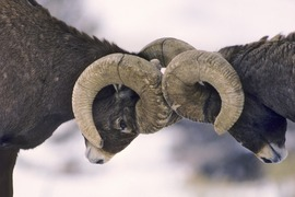 Big horn sheep, Yellowstone National Park, sheep photography, Yellowstone photography