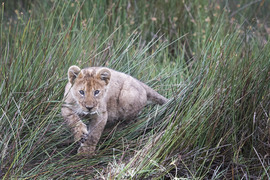 lion, lion photos, lion cub, lion cub photos, tanzania wildlife, tanzania wildlife photos, africa wildlife, africa wildlife photos, lions in tanzania, photos of lions in tanzania, tanzania safari, tanzania safari photos, africa safari, africa safari photo