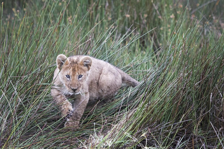lion, lion photos, lion cub, lion cub photos, tanzania wildlife, tanzania wildlife photos, africa wildlife, africa wildlife photos, lions in tanzania, photos of lions in tanzania, tanzania safari, tanzania safari photos, africa safari, africa safari photo