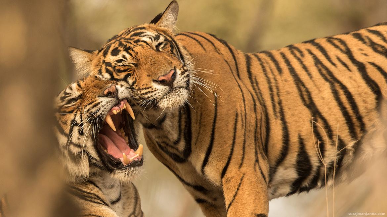 tiger photos, bengali tiger photos, tiger, bengali tiger, Ranthambore National Park, Ranthambore National Park wildlife, Ranthambore National Park wildlife photos, india wildlife, india wildlife photos