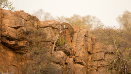 leopard, leopard photos, leopard images, India wildlife, India wildlife photos, leopards in India, leopards in Ranthambore National Park, Ranthambore National Park