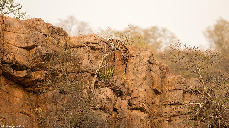 leopard, leopard photos, leopard images, India wildlife, India wildlife photos, leopards in India, leopards in Ranthambore National Park, Ranthambore National Park