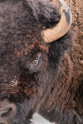 Bison, buffalo, Yellowstone National Park, bison photography, buffalo photography, Yellowstone photography