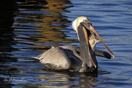 pelican, pelican photos, pelican eating a fish, pelican fishing, pelican eating, Florida birds, Florida wildlife, birds in Florida, birds in the US