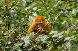 howler monkey, howler monkey photos, costa rica wildlife, costa rica primates, costa rica howler monkey, monkey, Tortuguero, Tortuguero wildlife, Tortuguero monekey