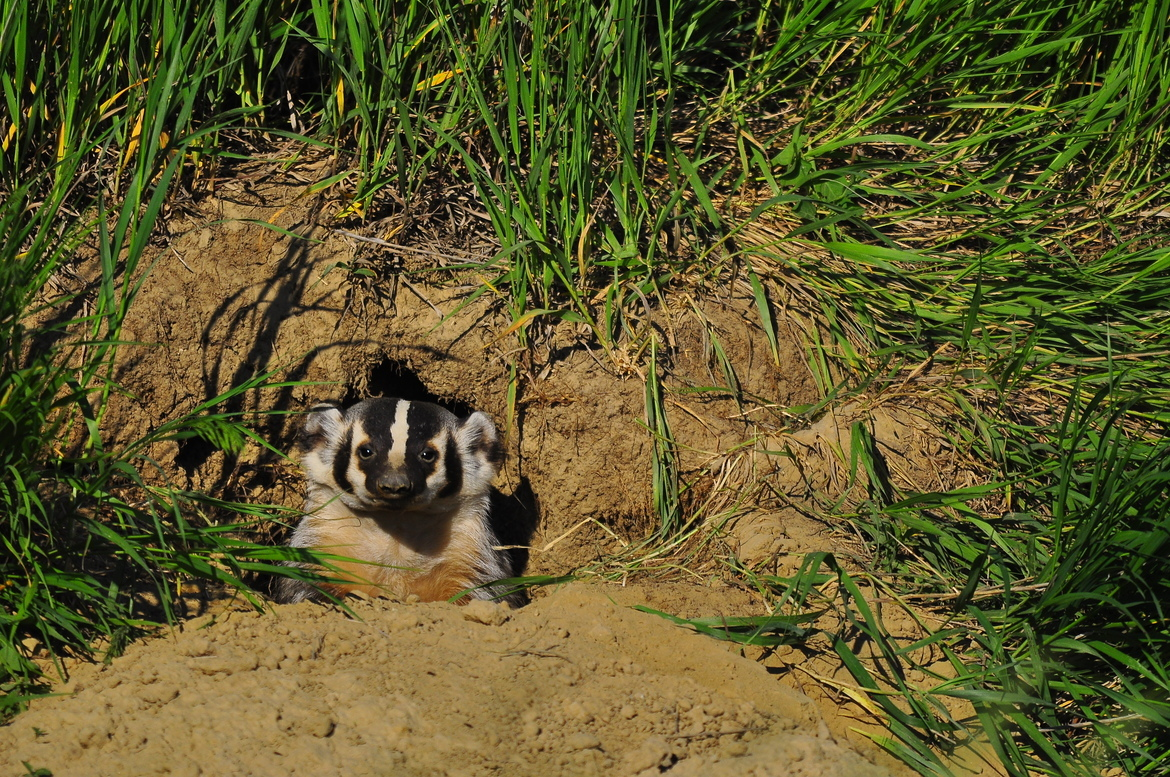 american badger, american badger photos, badger photos, Nebraska wildlife, Nebraska wildlife photos, Nebraska badger, united states wildlife