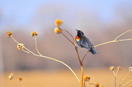 red winged blackbird, red winged blackbird photos, Nebraska wildlife, Nebraska birds, United States birds, Platte River, Platte River wildlife, Platte River birds