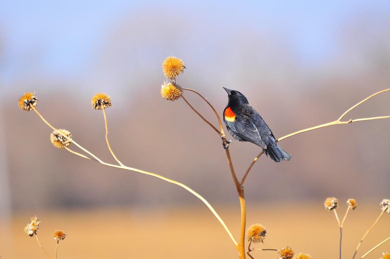 red winged blackbird, red winged blackbird photos, Nebraska wildlife, Nebraska birds, United States birds, Platte River, Platte River wildlife, Platte River birds