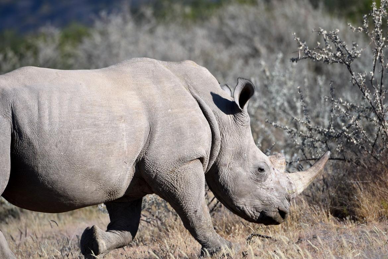 white rhino, white rhino photos, African rhino, Namibia wildlife, Namibia photos, Etosha National Park, Etosha wildlife photos