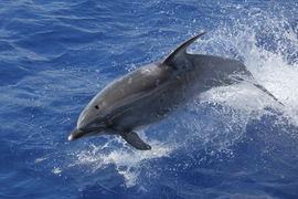 dolphin, dolphin photos, bottlenose, bottlenose dolphin, Tristan da Cunha, Tristan da Cunha wildlife, Atlantic Ocean wildlife, marine life