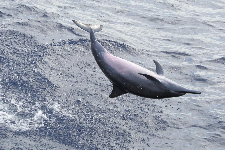 dolphin, dolphin photos, spinner dolphin photos, spinner dolphin, Cape Verde, Cape Verde wildlife, Atlantic Ocean wildlife, marine life