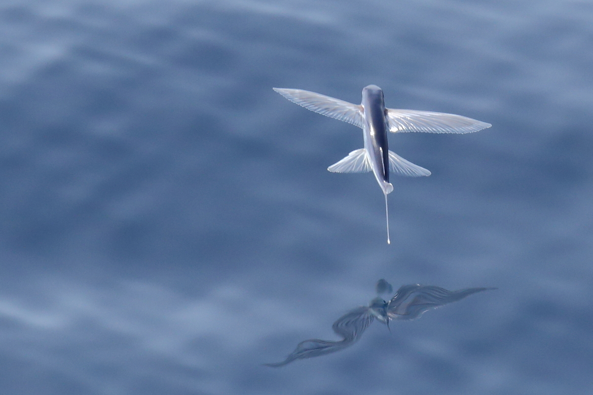 flying fish, flying fish photos, antarctica wildlife, antarctica wildlife photos, Atlantic Ocean marine life, ascension island, ascension island photos