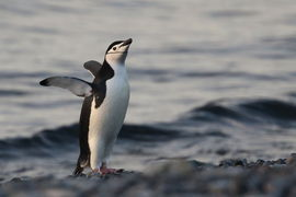 chinstrap penguin, chinstrap penguin photos, Antarctica, Antarctica wildlife, Antarctica penguins, Half Moon Island, Half Moon Island photos