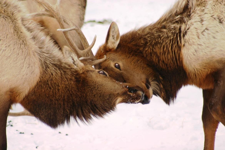 elk bulls, antlers, Yellowstone National Park, travel photography