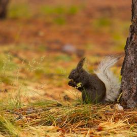 squirrel, kaibab squirrel, squirrel photos, kaibab squirrel photos, grand canyon wildlife, grand canyon wildlife photos, Grand Canyon National Park
