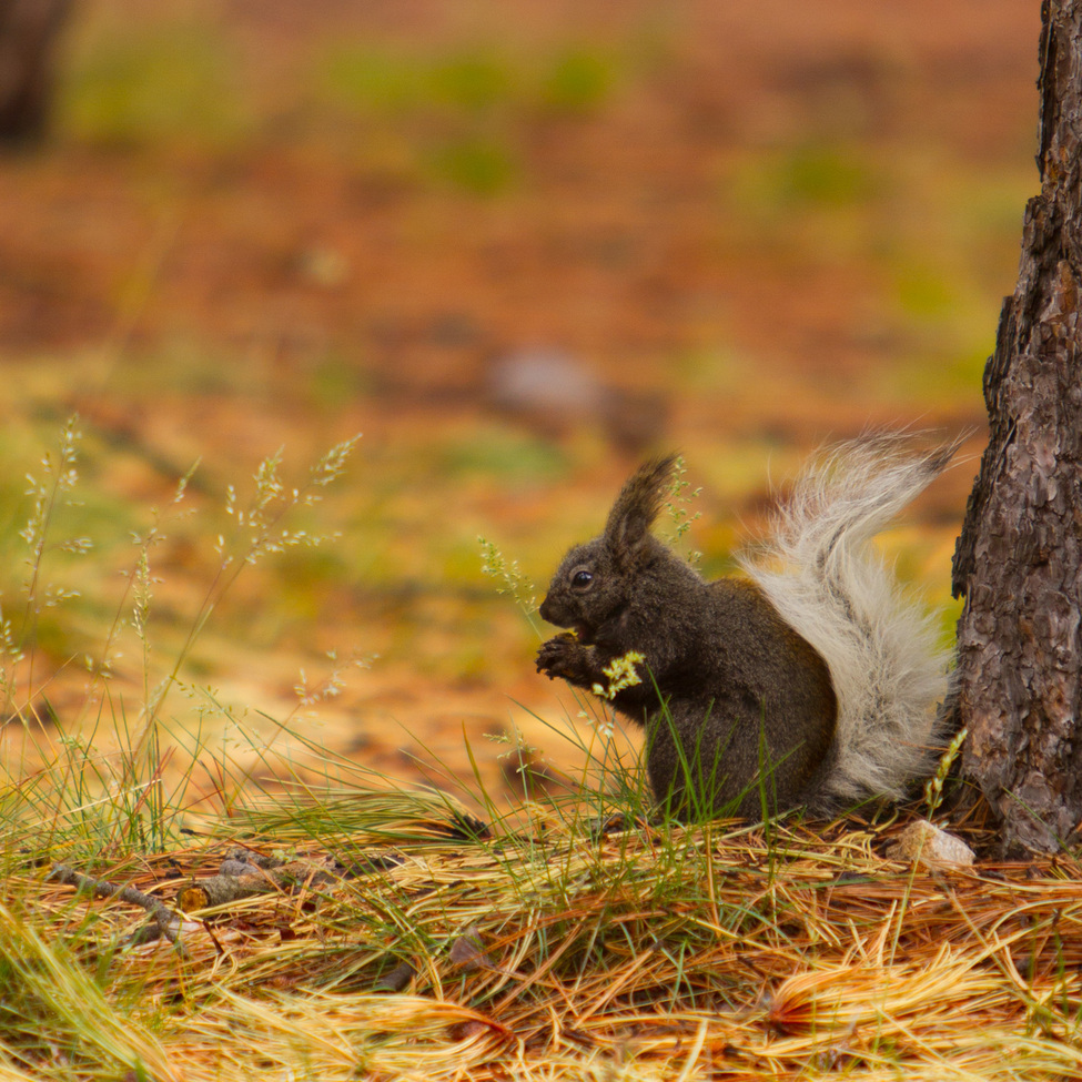 squirrel, kaibab squirrel, squirrel photos, kaibab squirrel photos, grand canyon wildlife, grand canyon wildlife photos, Grand Canyon National Park