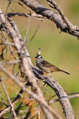 white crowned sparrow, white crowned sparrow photos, sparrows, birds in the US, birds in Nebraska