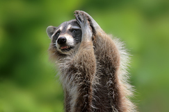 raccoon, raccoon photos, United States wildlife, wildlife in the US, Florida wildlife
