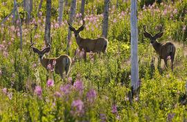 young deer, Glacier National Park, nature photography, springtime, flowers
