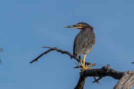 green heron, green heron photos, Lake Zorinsky photos, Lake Zorinsky birds, Nebraska wildlife, Nebraska birds, Nebraska herons