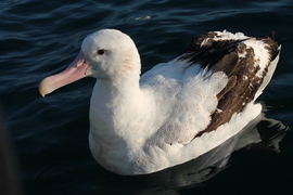albatross, northern royal albatross, albatross photos, northern royal albatross photos, new zealand wildlife, new zealand photos, new zealand birds