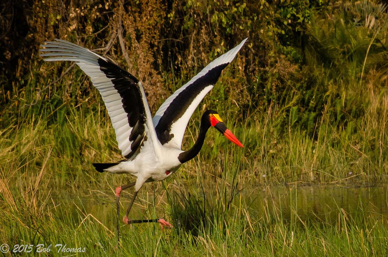 stork, saddle-billed stork, stork photos, saddle-billed stork photos, botswana wildlife, botswana wildlife photos, african safari photos, botswana safari, birds in botswana, photos of birds in botswana