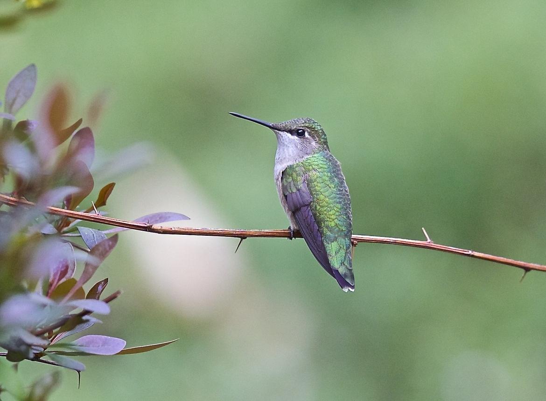 hummingbird, hummingbird photos, birds in Maine, hummingbird in Maine, birds in the US, birds in America