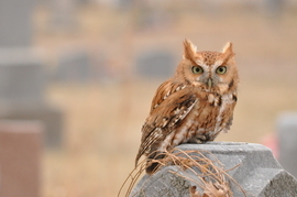 eastern screech owl, eastern screech owl photos, owl photos, united states wildlife, united states birds, owls in the united states, Nebraska wildlife, Nebraska birds