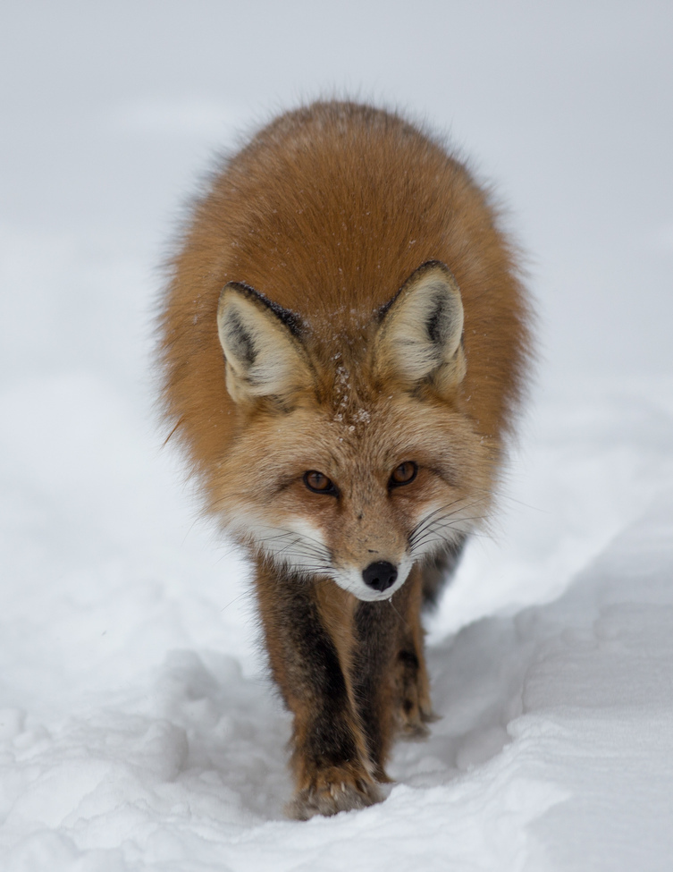 red fox, red fox photos, red fox images, wildlife in the US, united states wildlife, united states wildlife photos, us wildlife photos, wildlife in colorado, foxes in colorado