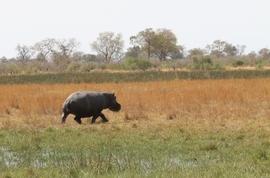 hippo, Hippopotamus, hippo photos,  Hippopotamus photos, Botswana wildlife, Botswana wildlife photos, Okavango Delta wildlife, Okavango Delta wildlife photos, African safari, African safari photos, Moremi Game Reserve, Moremi Game Reserve wildlife
