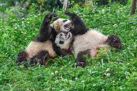 giant panda, giant panda photos, panda photos, pandas in China, wild pandas, Dujiangyan Panda Base, Chengdu