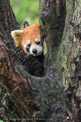 red panda, red panda photos, pandas in China, wild red pandas, Dujiangyan Panda Base, Chengdu