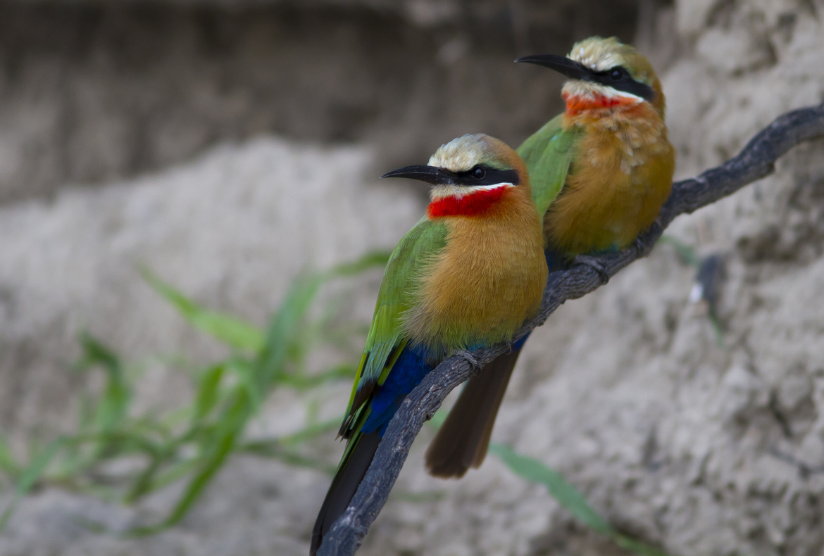 bee eater, bee eater photos, white fronted bee eater, white fronted bee eater photos, Botswana birds, Botswana wildlife, Botswana bee eater, africa birds, africa bee eater, africa wildlife, Okavango Delta, Okavango Delta wildlife, Okavango Delta birds
