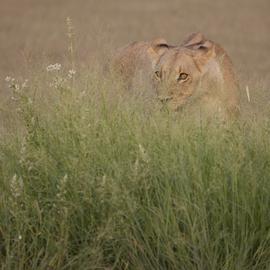 lion, Kalahari Desert, Botswana, Africa, stalking prey
