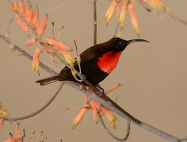 scarlet-chested sunbird, scarlet-chested sunbird photos, Tanzania birds, Tanzania wildlife, Tanzania bird photos, Tanzania safari, Africa safari, Africa bird watching