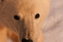 polar bear, polar bear in churchill, polar bear in canada, canada wildlife, canada polar bears, canada wildlife images, polar bear images, canada wildlife photos, polar bear photos, churchill wildlife, churchill wildlife photos, polar rover