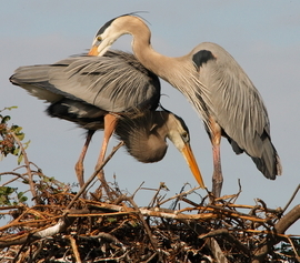 great blue heron, great blue heron photos, great blue heron nesting, birds in Florida, birds in the US