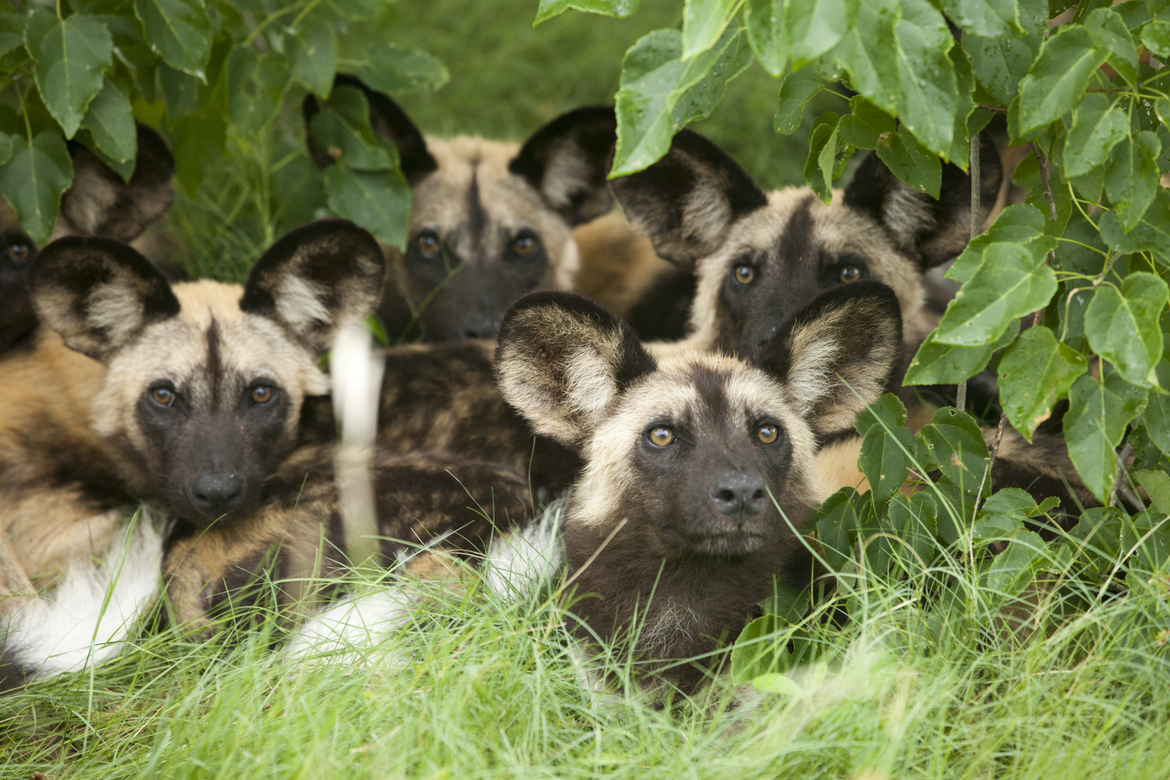 african wild dogs, puppies, Botswana, African Safari Photography