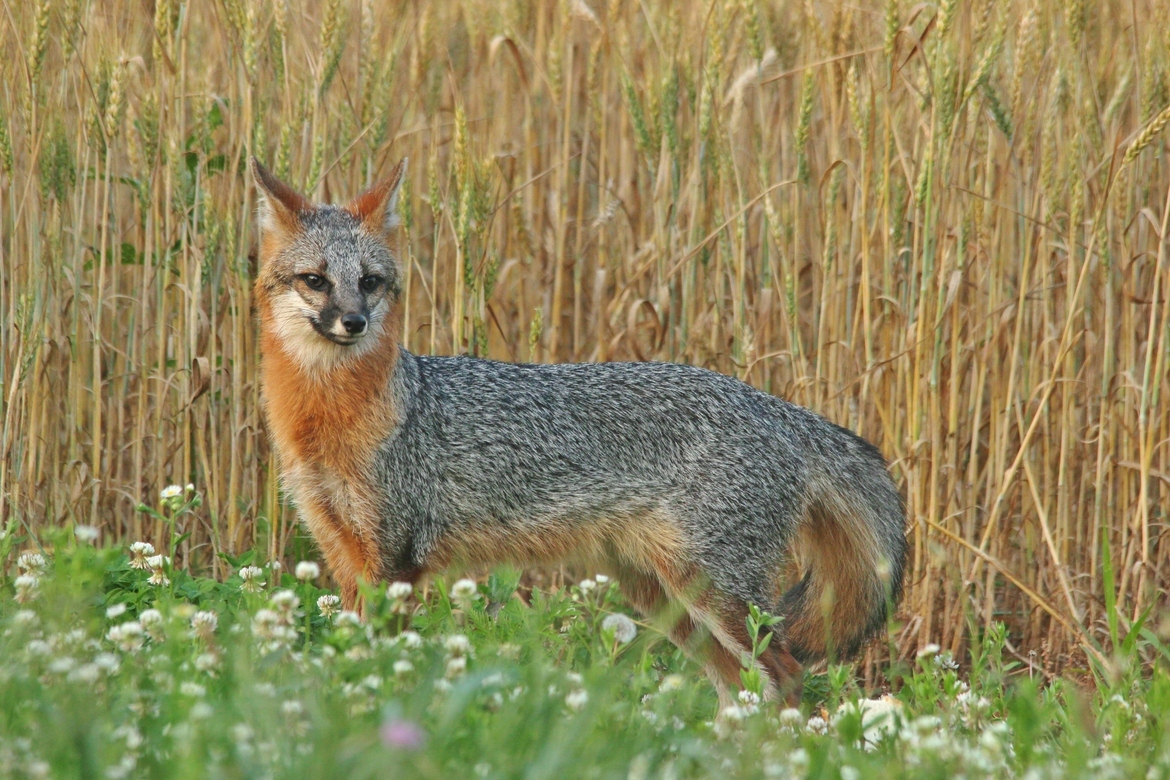 gray fox, gray fox photos, gray fox images, wildlife in the US, united states wildlife, united states wildlife photos, us wildlife photos, wildlife in North Carolina, foxes in North Carolina