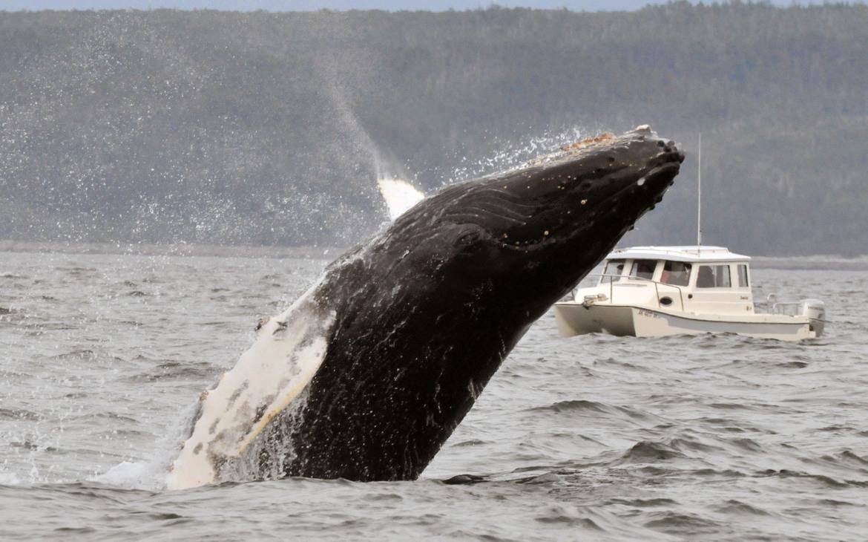 humpback whale, humpback whale photos, humpback whales in Alaska, Alaska wildlife, Alaska marine life, Alaska wildlife photos