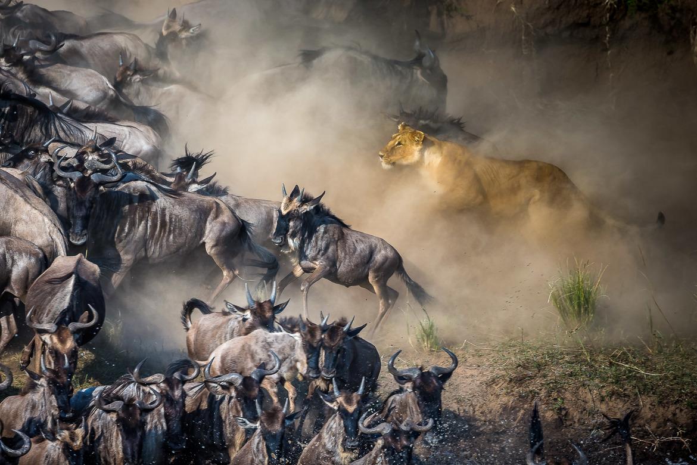 Lion and Wildebeest, Mara River, Maasai Mara National Reserve, Kenya