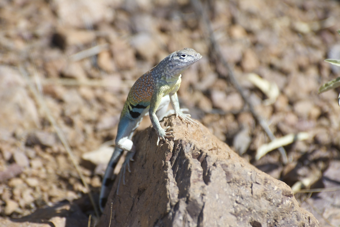 banded lizard, banded lizard photos, reptiles in the united states, reptile photos, new mexico wildlife, new mexico lizards, dripping springs