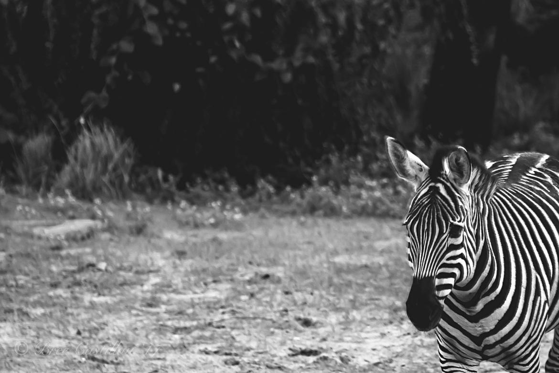 Zebra, Harambe Wildlife Reserve, United States